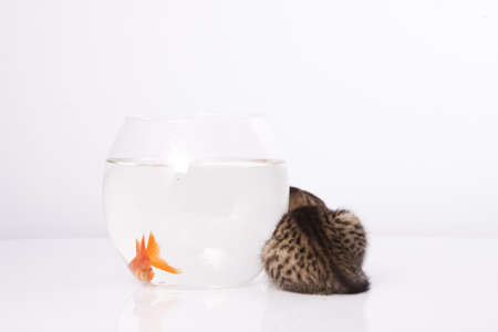 Home cat and a gold fish Stock Photo - 7242945