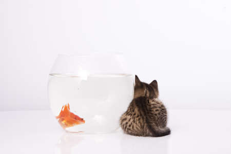 Home cat and a gold fish  Stock Photo - 7242951