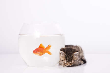 Home cat and a gold fish  Stock Photo - 7242960