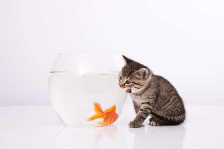 Home cat and a gold fish Stock Photo - 7243040