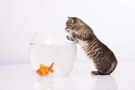 Home cat and a gold fish  Stock Photo - 7272985