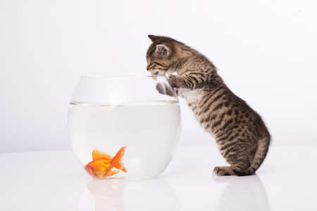 Home cat and a gold fish  Stock Photo - 7272988