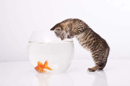 Home cat and a gold fish  photo