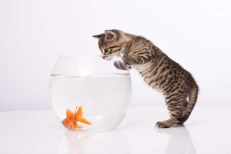 pez dorado: Gato de hogar y un pez de oro  Foto de archivo