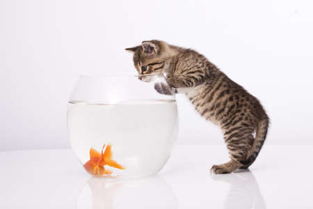 fish tank: Home cat and a gold fish  Stock Photo