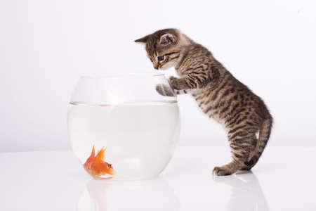 peces de acuario: Gato de hogar y un pez de oro  Foto de archivo