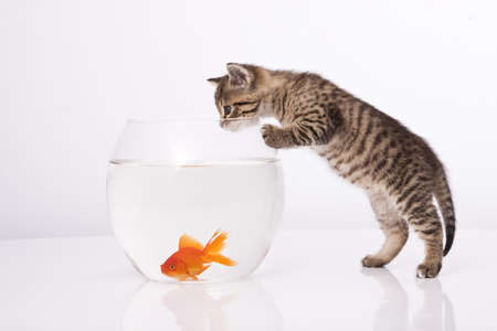 Home cat and a gold fish  Stock Photo - 7272999