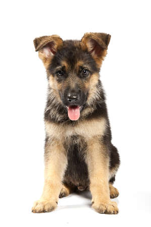 puppy of german shepard dog portrait on white background photo