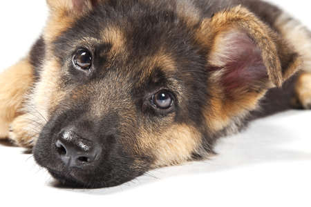 puppy of german shepard dog portrait on white background Stock Photo - 7419574