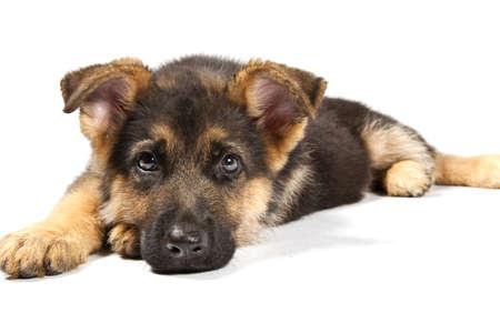 sheppard: puppy of german shepard dog portrait on white background