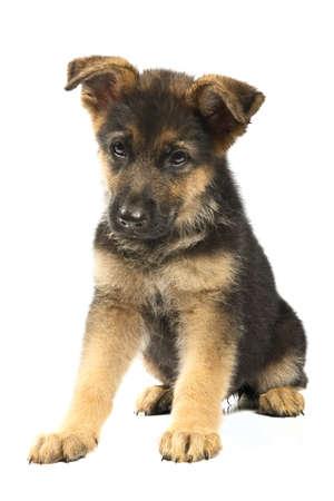 german shepherd puppy: puppy of german shepard dog portrait on white background