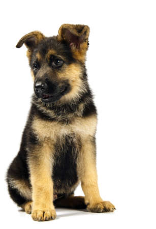 puppy of german shepard dog portrait on white background photo