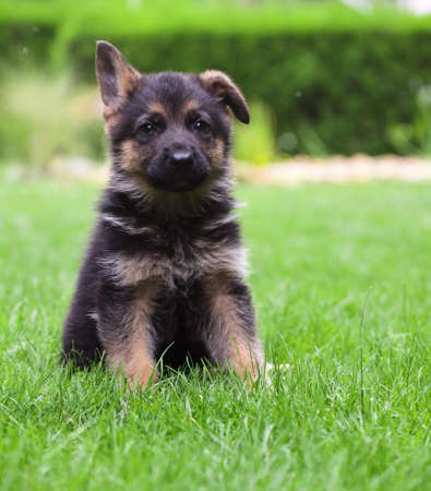 sephardi: young German Shepherd on a green grass