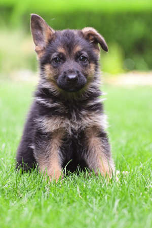 young German Shepherd on a green grass photo