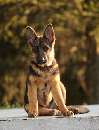 sephardi: german shepard dog on the nature ( 4 month)
