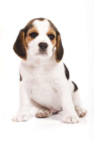 Beagle (1,5 meses) en fondo blanco Beagle (1,5 meses) en fondo blanco