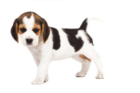 beagle puppy: Beagle (1,5 months) in white background  Stock Photo