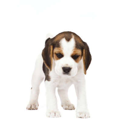 Beagle (1,5 months) in white background  Stock Photo - 7791595