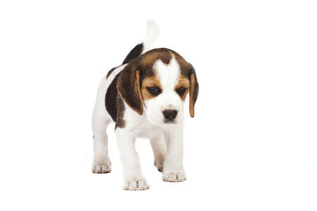 Beagle (1,5 months) in white background  photo