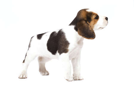 Beagle (1,5 months) in white background Stock Photo - 7791605