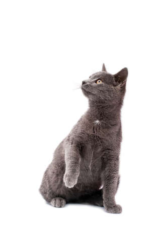 Little grey cat isolated on white photo
