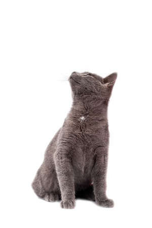 Little grey cat isolated on white Stock Photo - 8617519