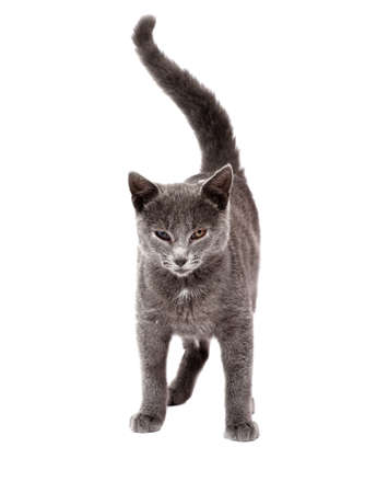 Little grey cat isolated on white Stock Photo - 8617509