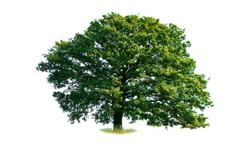 Oak tree isolated  Standard-Bild