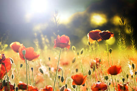 Colorized field of poppies Stock Photo - 8752275