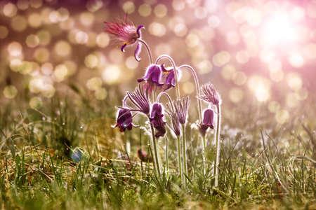 Spring flowers - Pulsatilla photo