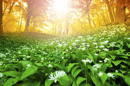 Wild garlic forest in Hungary