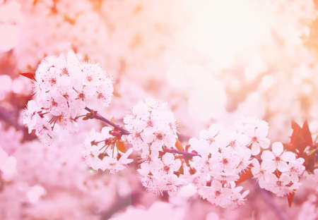 Spring blooming cherry flowers branch  Stock Photo - 9371106