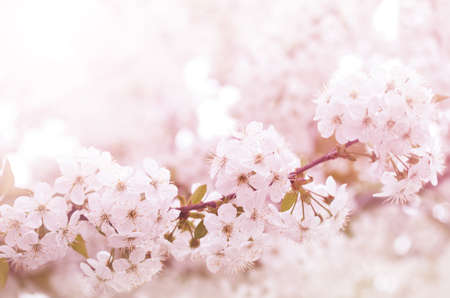 Spring blooming cherry flowers branch  photo