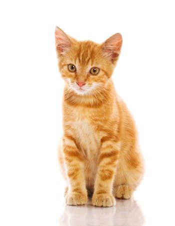 gato naranja: Gato poco rojo