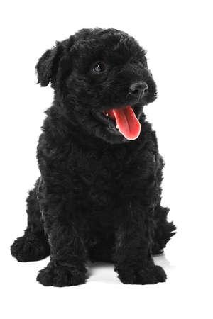 Little hungarian Puli Dog  photo