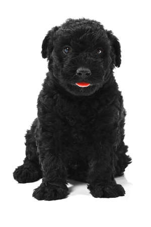 Little hungarian Puli Dog Stock Photo - 9811244