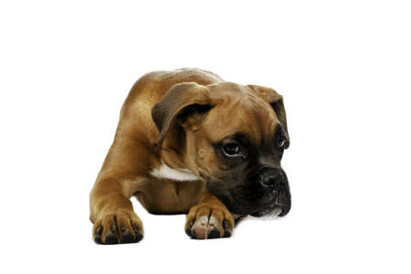 molosse: puppy Boxer in  white background Stock Photo