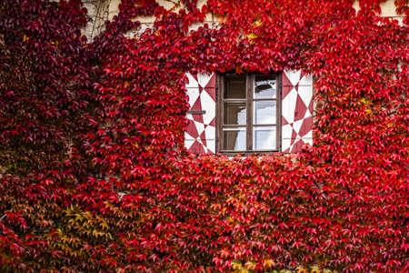 Vibrant red fall vine covering the stone wall of a building when the creeping leaves turn a vivid red  photo