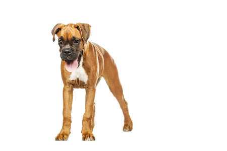 German Boxer puppy (5 month) on a white background photo