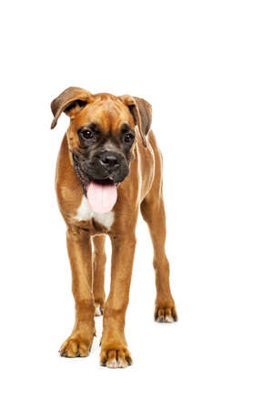 German Boxer puppy (5 month) on a white background Stock Photo - 16081730