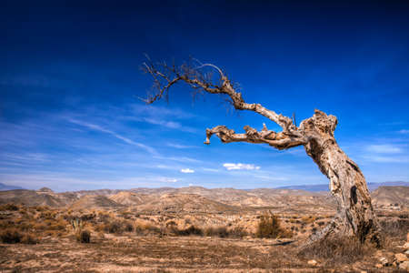 Parched tree in the desert landscape-Spain, Almeria photo