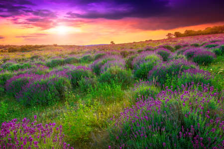 Sunset over a summer lavender field in Tihany, Hungary- This photo make hrd technik photo