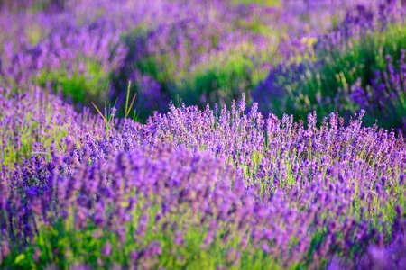 Lavendel veld in de zomer in Tihany, Hongarije Stockfoto