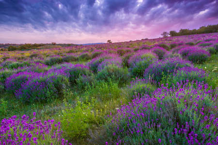 purple sunset: Sunset over a summer lavender field in Tihany, Hungary- This photo make HDR shot Stock Photo