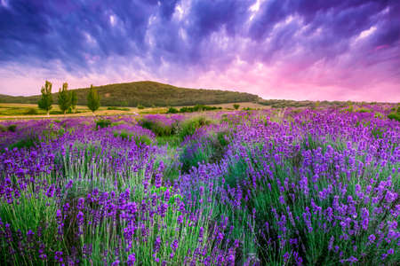 lavender flowers: Sunset over a summer lavender field in Tihany, Hungary- This photo make HDR shot Stock Photo