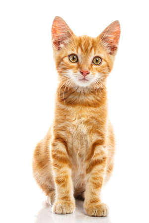 cute pussy: Red little cat on the isolated background
