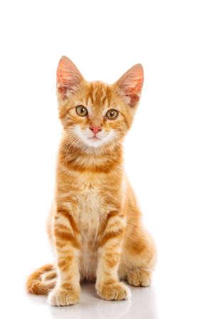 Red little cat on the isolated background, studio shot Standard-Bild