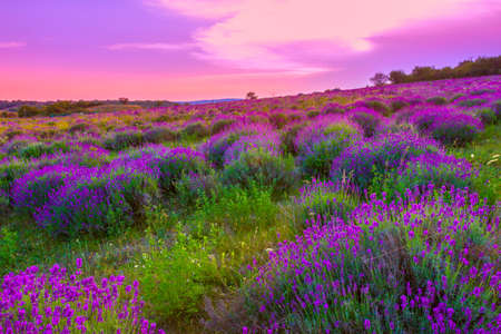 purple flowers: Sunset over a summer lavender field in Tihany, Hungary- This photo make HDR shot Stock Photo