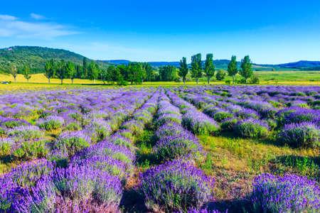 Lavendel veld in de zomer in Tihany, Hongarije