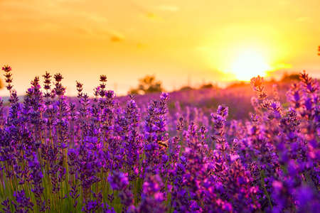 lavender flowers: Lavender field in Tihany, Hungary